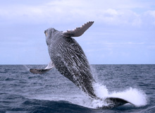 Las Galeras Whale Watching : Whale Watching in Samana Bay, Humpback Whale Watching Tours from Port of Samana in Dominican Republic.